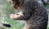 An European shorthair cat  plays with its booty in a graden in Berlin, Germany, on April 18, 2012. Due to their ability to hunt mouses and other vermin, cats have been domesticated by humans at least 9,500 years ago. AFP PHOTO / WOLFGANG KUMM   GERMANY OUT        (Photo credit should read WOLFGANG KUMM/AFP/Getty Images)