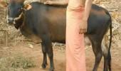 vaca pitica 2