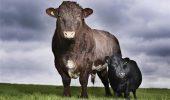 vaca pitica