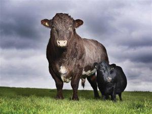Lobby pentru vacile pitice