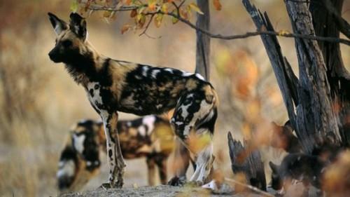 Cainele salbatic african, o minunatie pe cale de disparitie!
