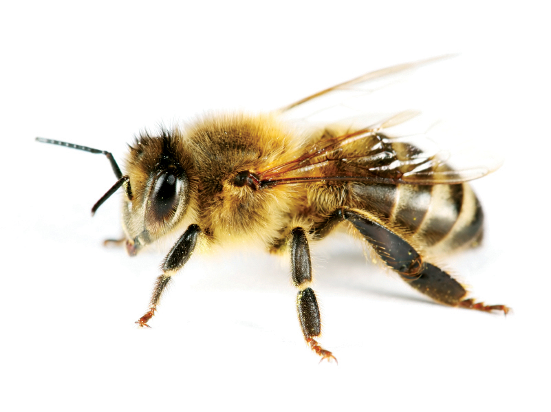 Honeybee isolated on white