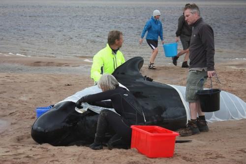 Explozii militare care au dus la esuarea balenelor