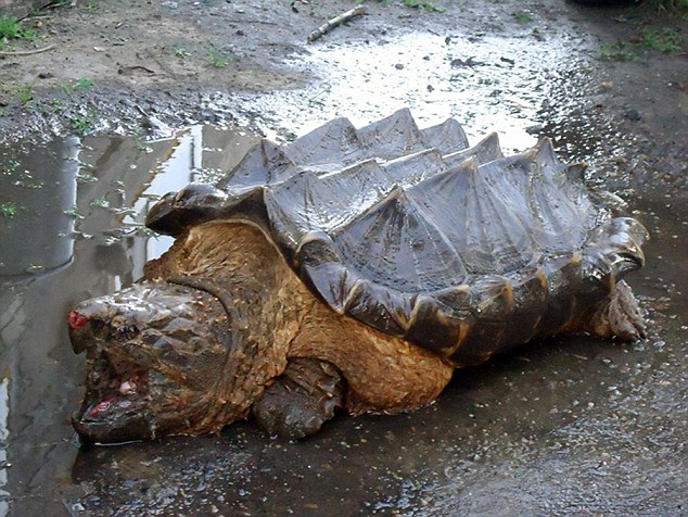 Giant Turtle Escapes Chinese Cooking Pot In Russia