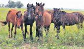 Populatia de cai salbatici din Grindul Letea, controlata