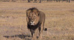 Moartea leului Cecil, in fata justitiei
