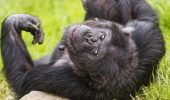 Fa-le un foc, iar cimpanzeii pot gati mancarea!
