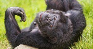 Cimpanzeilor le place bautura
