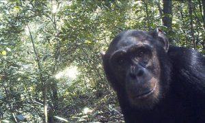 Subspecie de cimpanzei, mancatoare de leoparzi si de lei