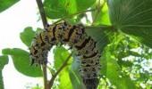 gonimbrasia belina