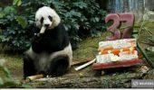Decana de varsta a ursilor panda in captivitate