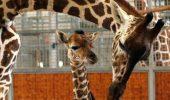 Un pui de girafa a murit accidental la zoo