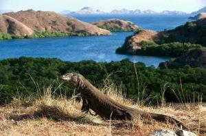 Curiozitati legate de dragonul Komodo