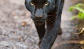 Si leoparzii negri din Malaezia au, de fapt, pete?