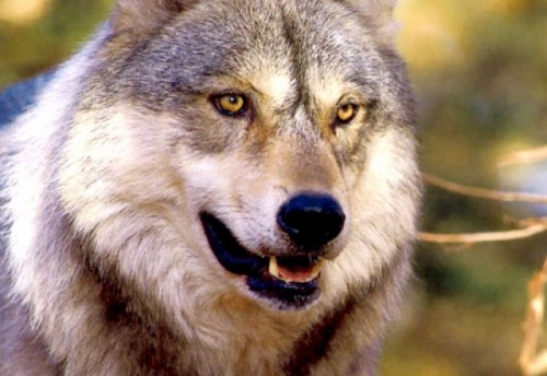 Stiati ca, si la lupi, cascatul se ia?