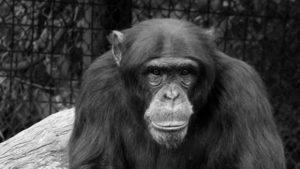 Rezultate promitatoare pentru un vaccin anti-HIV, testat pe maimute
