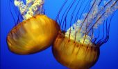 Meduzele, in ajutorul mediului