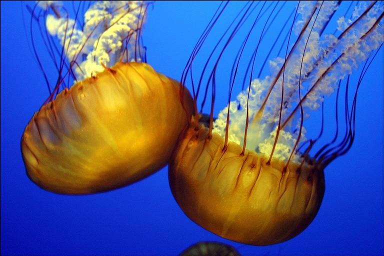 meduze 1