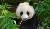 Panda puturosii!