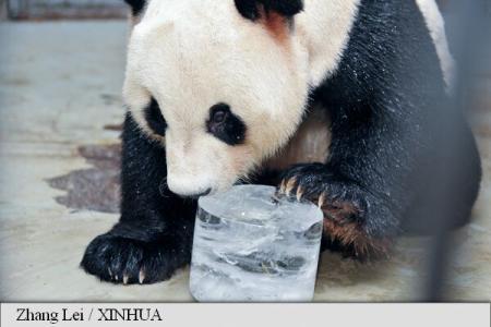 Tratament regesc, anti-canicula, pentru panda!