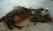pisica ametita 1