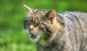 pisica salbatica 1