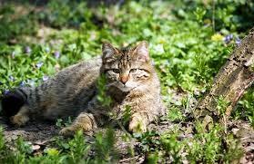 pisica salbatica 2
