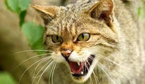 pisica salbatica