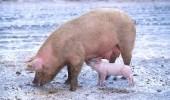 porc noroi1