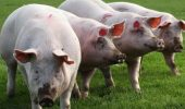 Doar un pas pana ce organele de porc vor putea fi utilizate ca substitute pentru organe umane