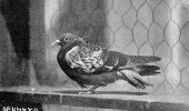 porumbelul cher ami