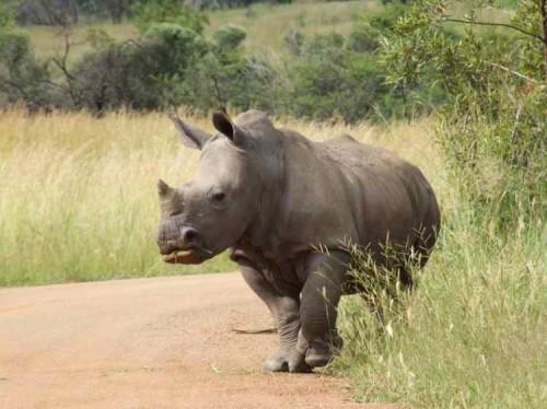Cornuri sintetice de rinocer, pentru combaterea braconajului