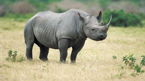Cifra record pentru rinocerii braconati