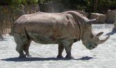 Un rinocer alb de nord a murit in Cehia