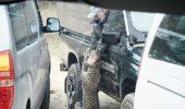 Ghid safari, atacat si ranit de un leopard