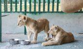 Doi pui de leu, salvati din Fasia Gaza!