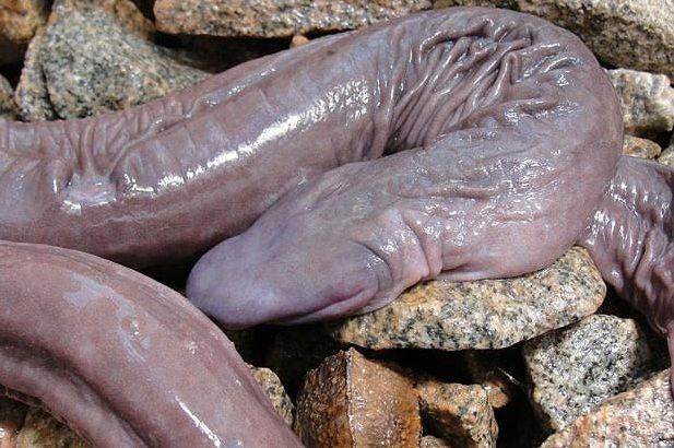 sarpe penis 2
