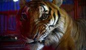 Folosirea animalelor in circuri a fost interzisa, in Mexic