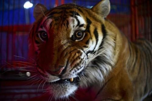Mai mult de jumatate din populatia de tigri din lume se afla in India
