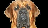 INCIDENT GRAV în Dolj. Un câine din rasa Tosa Inu a atacat trei persoane!