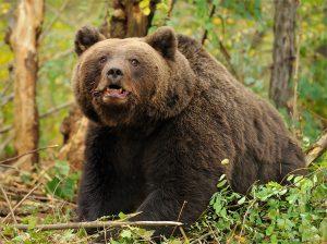 Cum poti supravietui atacului unui urs?