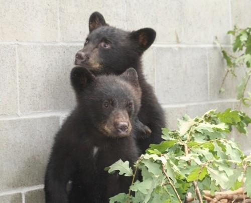 Suspendat de la job, pentru refuzul de a ucide doi pui de urs, ramasi orfani