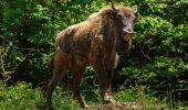 Alergatura pentru readucerea zimbrilor in Carpati