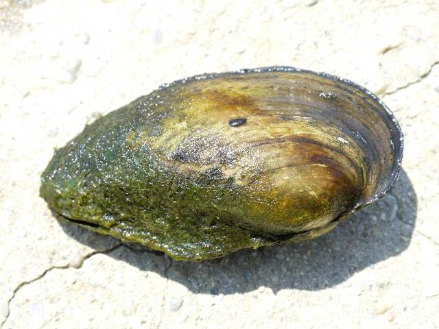 Anodonta