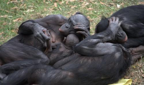 Bonobo group hug