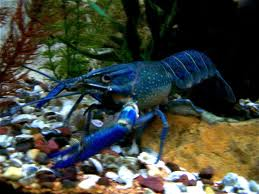 Cherax quadricarinatus blue
