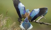Blauracke, Coracias garrulus, common roller