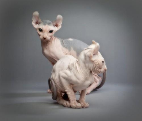 Cele mai scumpe feline din lume