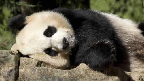 Panda gestanta?
