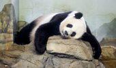 Puiuti de urs panda gigant s-au nascut la zoo